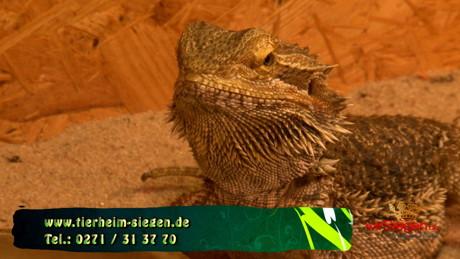 2015-07-21_Siegen_Tier zu Dir - Bartagame Dracu_Foto_Hercher