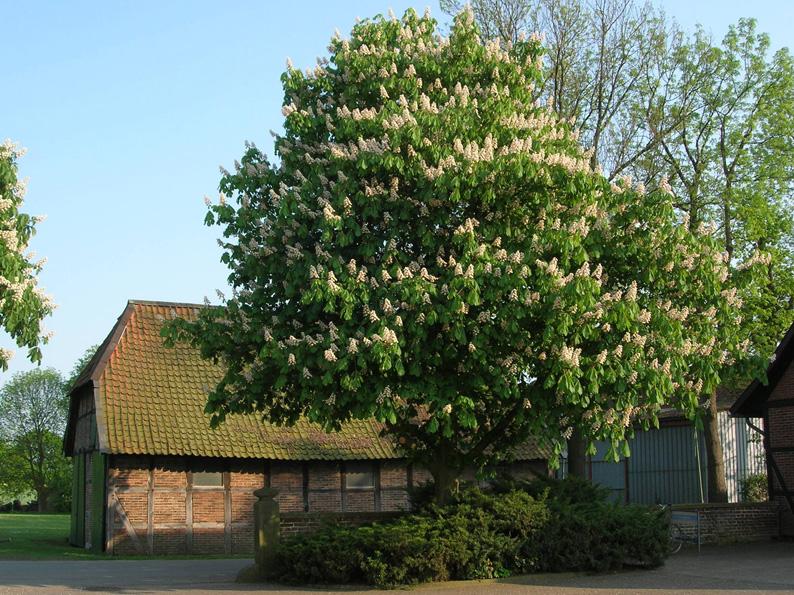 Die gewöhnliche europäische Rosskastanie ist in  der Regel weißblühend. Es gibt aber auch eine rotblühende Version, die aus einer Kreuzung mit einer nordamerikanischen Art hervorgegangen ist. Weltweit gibt es etwa 20 verschiedene Arten. (Foto: Birgit Winter/pixelio.de)