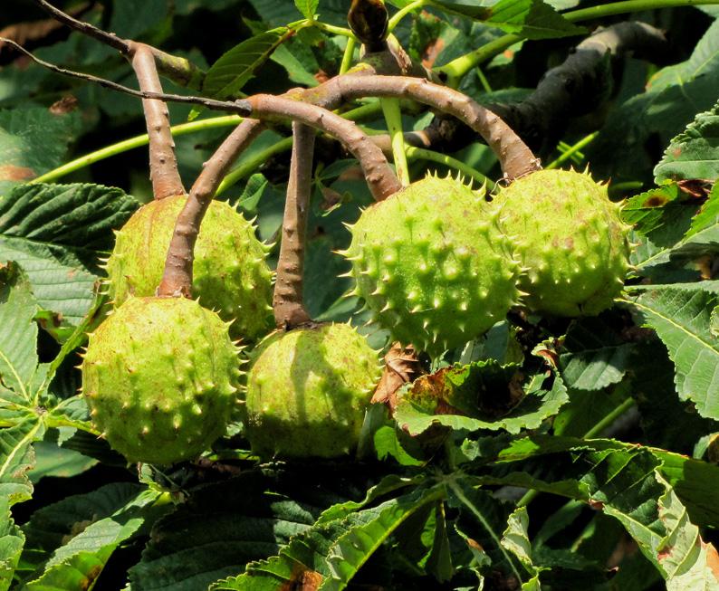 Kastanien fallen, wenn sie reif sind, von alleine vom Baum. Das ist der Schwerkraft geschuldet. Die pieksige Fruchthülle beherbergt meist zwischen ein bis drei braune Samen – und die kommen beim Herabfallen ohne Geburtshelfer auf die Welt. (Foto: Rolf Handke/pixelio.de)