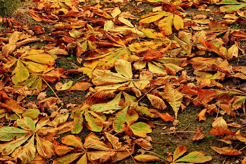 Was rauscht zu meinen Füßen so? Es ist das falbe Laub vom Baum! Auch die Kastanien verlieren jetzt nach und nach ihre Blätter. Dazwischen und darunter verborgen  findet der Sammler noch so manche versteckte Frucht.  (Foto: Uschi  Dreiucker/pixelio.de)