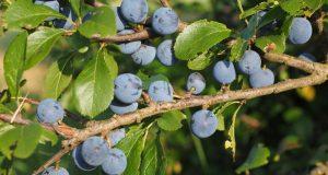 Schlehen sehen zwar appetitlich aus, sind aber erst nach dem ersten Frost zu genießen. Der saure-bittere Geschmack rührt von den in den Früchten enthaltenen Gerbstoffen her. Die werden zum größten Teil abgebaut, wenn das Thermometer unter den Gefrierpunkt fällt. (Foto: Pixabay)