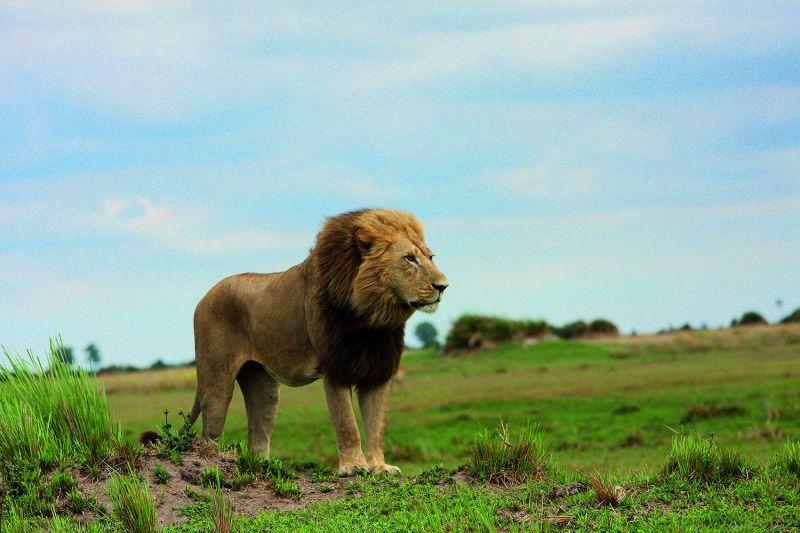 Knapp 70 Löwen leben heute noch an der nördlichen Grenze des Okavango-Deltas. Das Gebiet ist von der UNESCO zum Weltnaturerbe ernannt worden. (Foto: Universität Siegen)